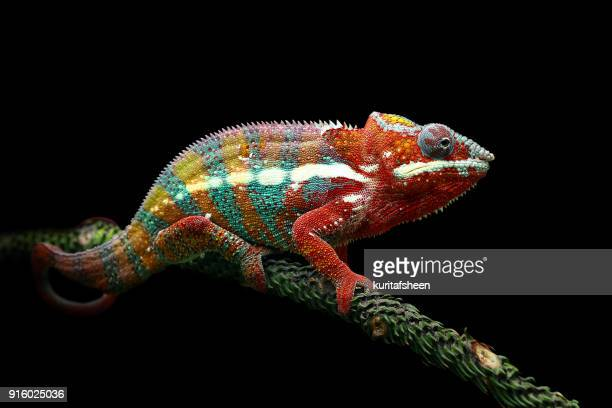 panther chameleon on a branch - camaleón fotografías e imágenes de stock