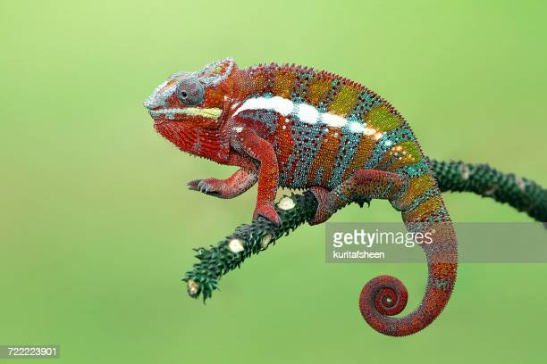 Panther chameleon on branch, Indonesia