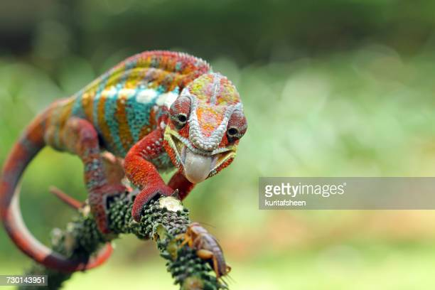 panther chameleon on branch, indonesia - カメレオン ストックフォトと画像