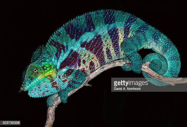 Panther Chameleon on Tree Branch