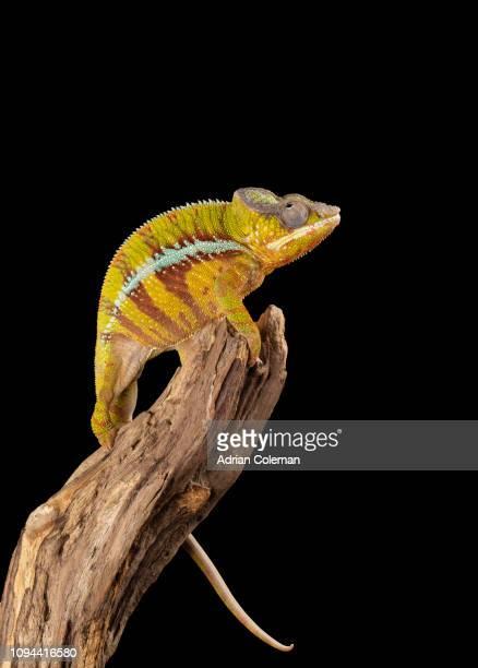 camaleão-pantera - réptil - fotografias e filmes do acervo