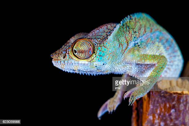 panther chameleon (furcifer pardalis) - chameleon stock photos and pictures