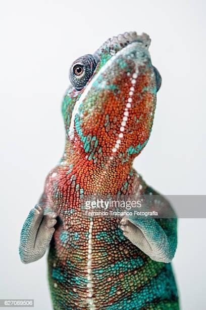 Panther Chameleon (Chameleo pardalis)