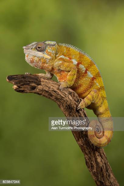 panther chameleon - east african chameleon stock pictures, royalty-free photos & images