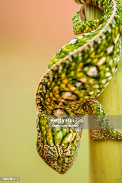 panther chameleon - ugly cat stock photos and pictures