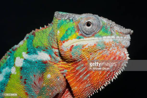 panther chameleon - portrait - east african chameleon stock pictures, royalty-free photos & images