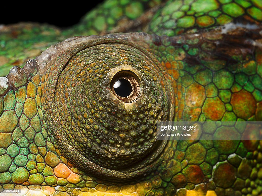 Panther Chameleon's eye, close up : Stock Photo