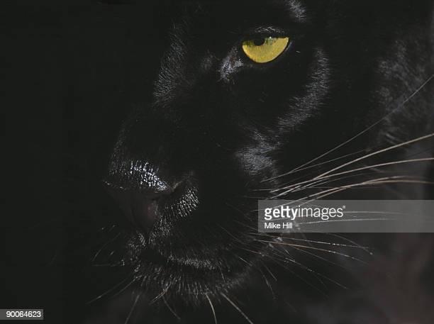 panther close up of face