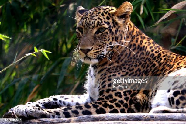 Panther rests in its enclosure at Nahargarh zoological & Biological park in Jaipur, India on 7 December 2019.
