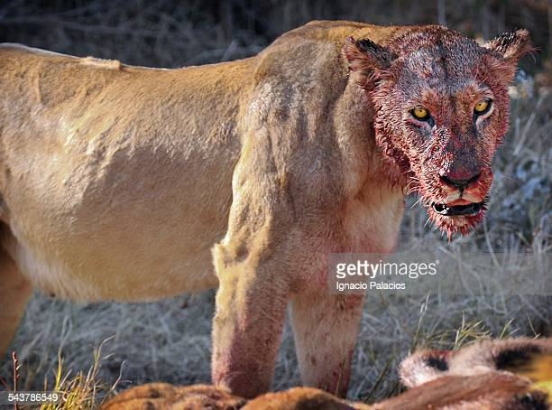 Panthera leo with bloody face after a kill in More