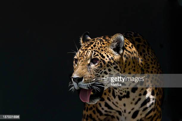 panthera onca - jaguar stock photos and pictures