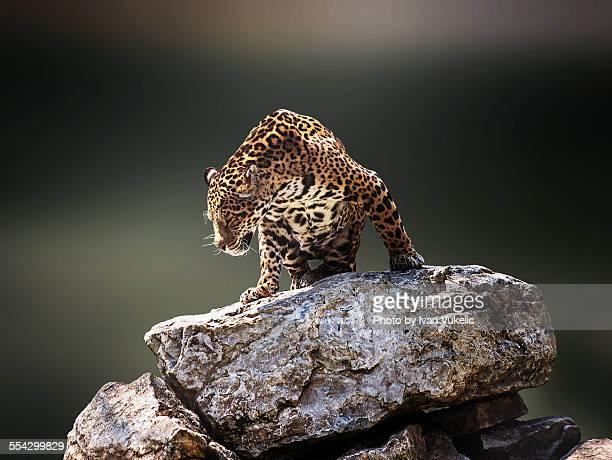 panthera onca - jaguar stock photos and pictures