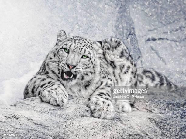 panthera uncia - leopardo delle nevi foto e immagini stock