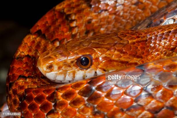 pantherophis guttatus – corn snake - corn snake stock pictures, royalty-free photos & images