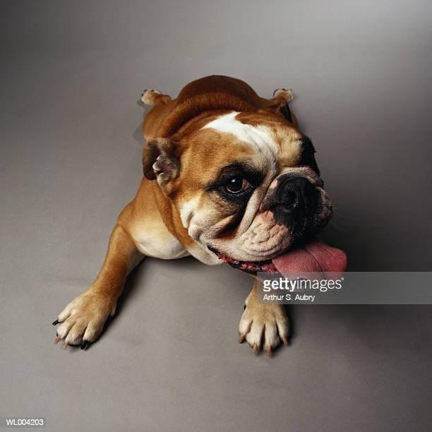 Panting Bulldog