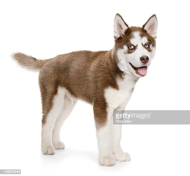 panting holiday puppy - husky stock pictures, royalty-free photos & images