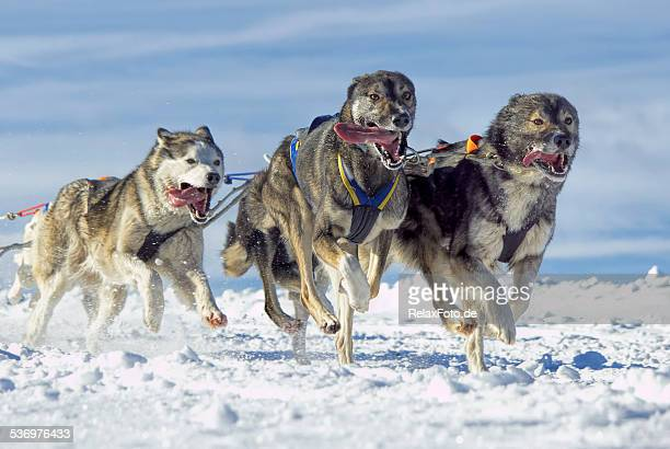 Panting Siberian husky sled dogs running in snow