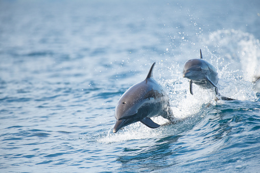 Pantropical Spotted Dolphin 1092818466
