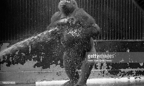 Papa Kongo to really dig shower in Central Park's Zoo Mama also sipped ice from a cup while baby Pattycake just lolled about It's over a month since...