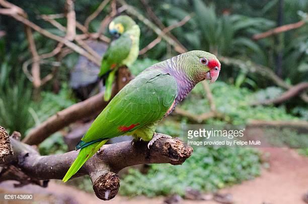 papagaio-de-peito-roxo (amazona vinacea), vinaceous-breasted amazon - peito stock pictures, royalty-free photos & images