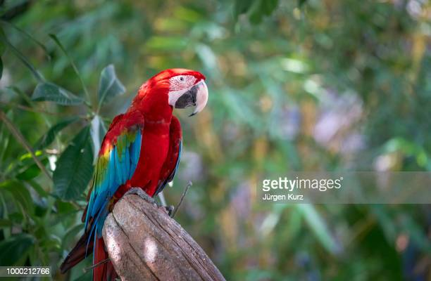 papagei - scarlet macaw stock pictures, royalty-free photos & images
