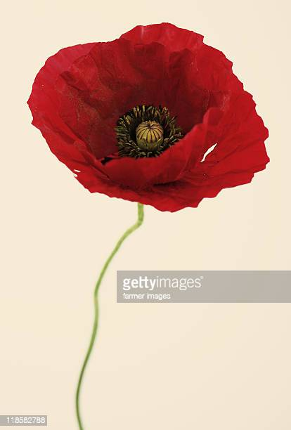papaver glaucum - poppy stock pictures, royalty-free photos & images