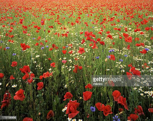 papaver - miloniro stock pictures, royalty-free photos & images