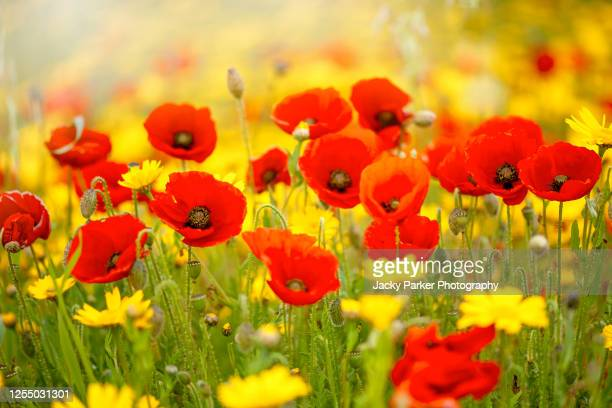 papaver rhoeas common names include common poppy, corn poppy, corn rose, field poppy, flanders poppy, or red poppy flowers - remembrance day stock pictures, royalty-free photos & images