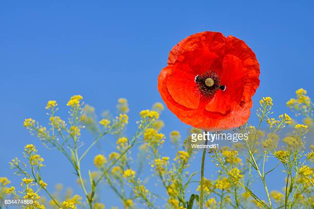 Papaver rhoeas, Common Poppy, Red Poppy, against clear blue sky