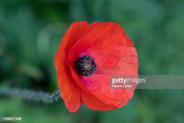 papaver rhoeas - meadow stock pictures, royalty-free photos & images
