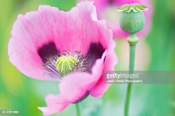 Papaver somniferum Flower and Bud
