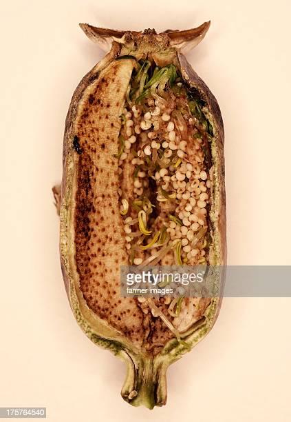 "Papaver somniferum ""Germinating seeds inside pod"""