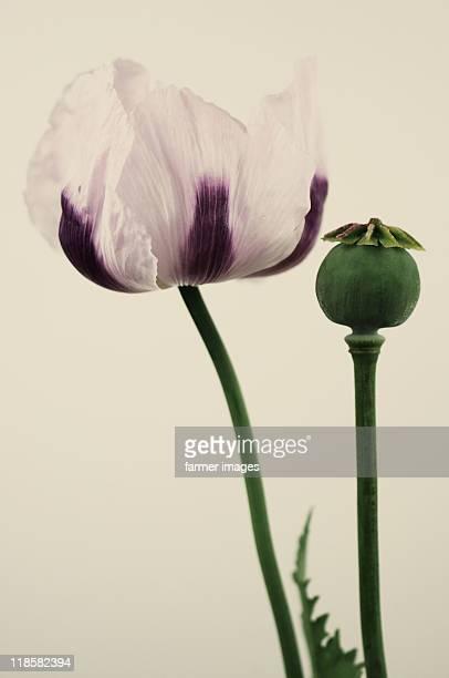 """Papaver somniferum """"Izmir Bush Poppy"""""""