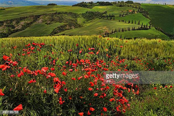 papaveri, la foce - san quirico d'orcia stock pictures, royalty-free photos & images