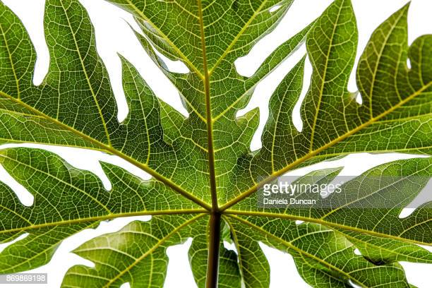 papaya leaf - photosynthesis stock photos and pictures
