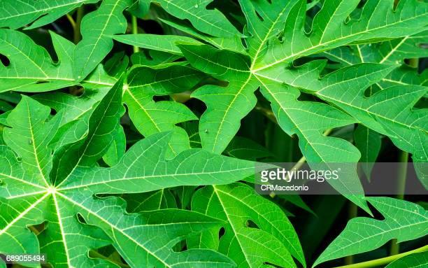 papaya leaves. - crmacedonio stock-fotos und bilder