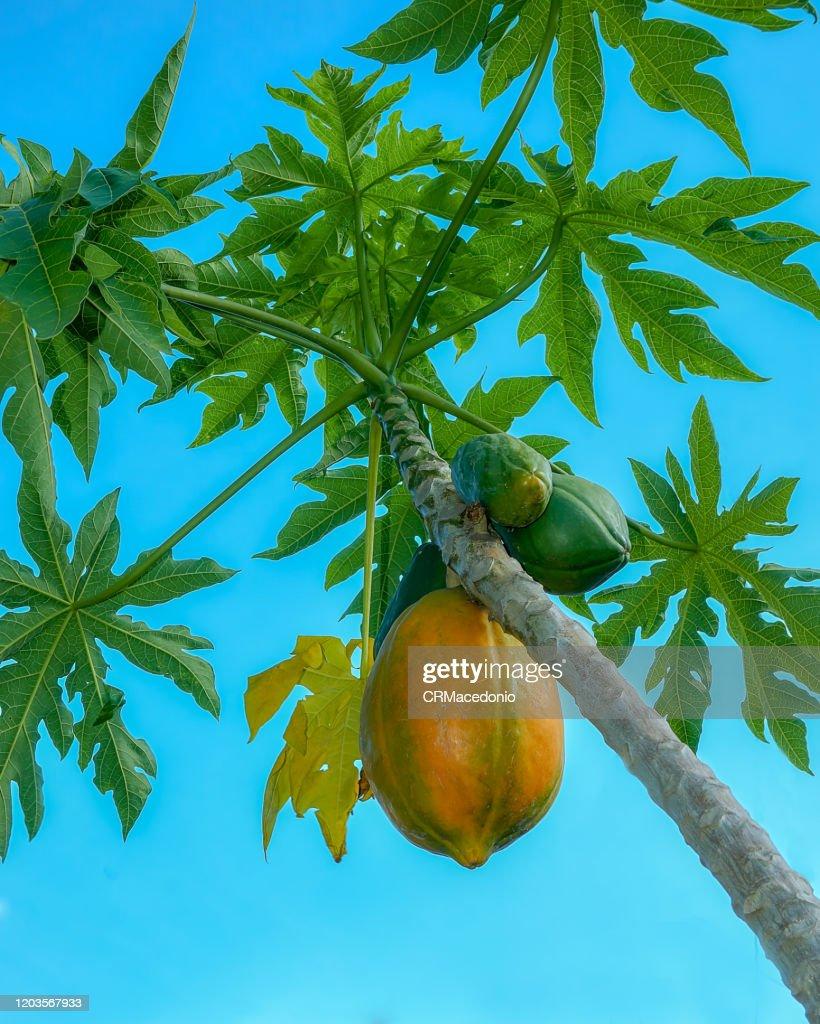 Papaya plant and fruit. : Stock Photo