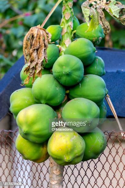 papaya plant and fruit. - crmacedonio bildbanksfoton och bilder