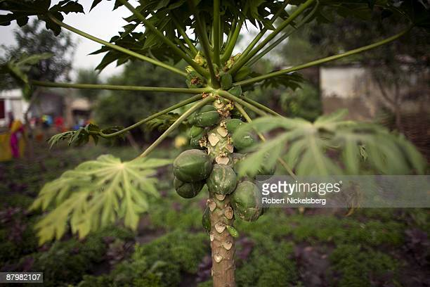 A papaya tree grows on land April 21 2009 adjacent to agricultural areas where members of twelve families who have been farming for four generations...
