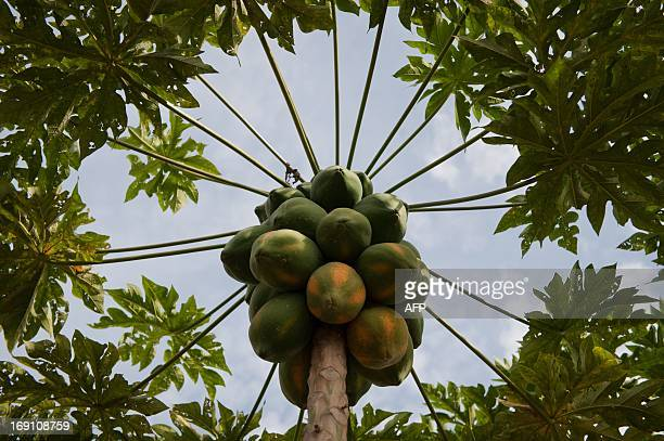 A papaya tree is pictured on May 9 2013 in a rural area of Ginebra Valle del Cauca departament Colombia The Pacific Alliance a trade association...