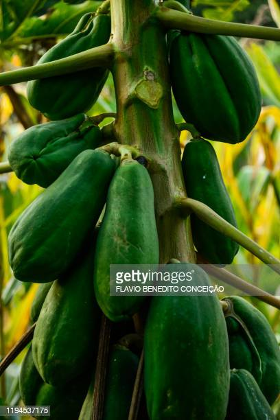 papaya tree laden with green fruits on a terra roxa farm in londrina. - fruit laden trees stock pictures, royalty-free photos & images