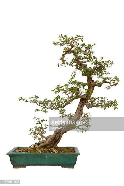 paper flower (bougainvillea glabra) bonsai - bonsai tree stock pictures, royalty-free photos & images