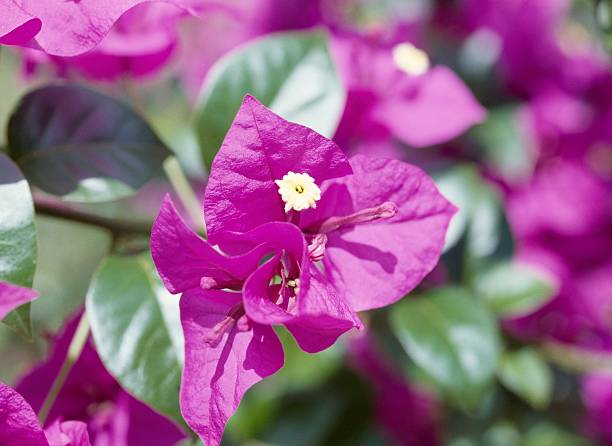 Paper flower or lesser bougainvillea pictures getty images paper flower or lesser bougainvillea mightylinksfo