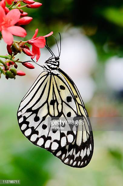 paper kite or rice butterfly (idea leuconoe) - ogphoto stock pictures, royalty-free photos & images