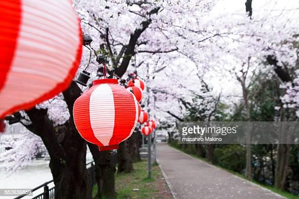 Paper lanterns under cherry trees