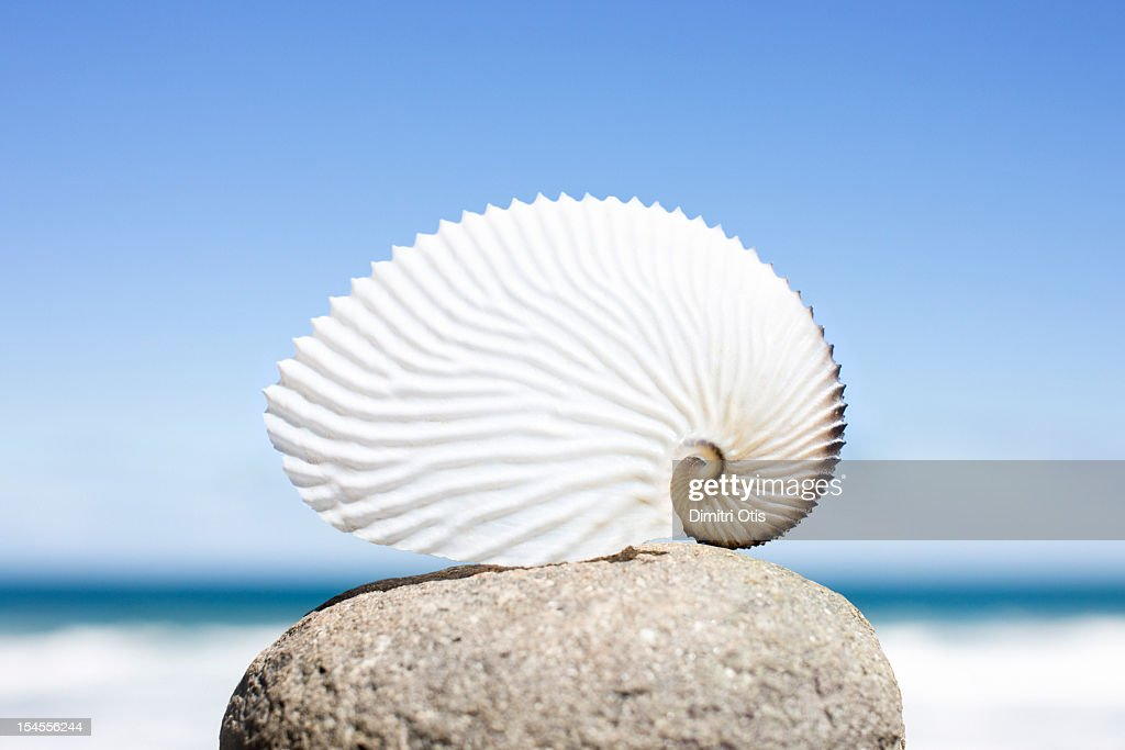 Paper nautilus or orargonaut octopus shell : Stock Photo