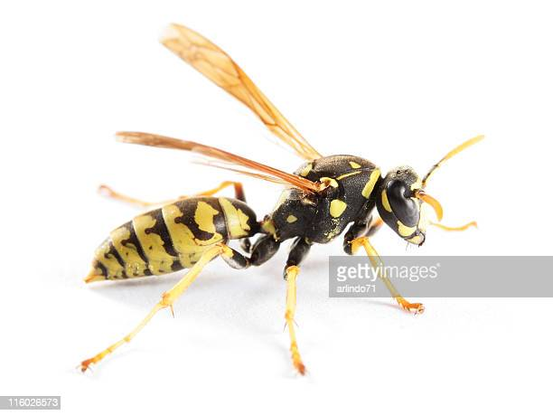 paper wasp 02 - paper wasp stock pictures, royalty-free photos & images