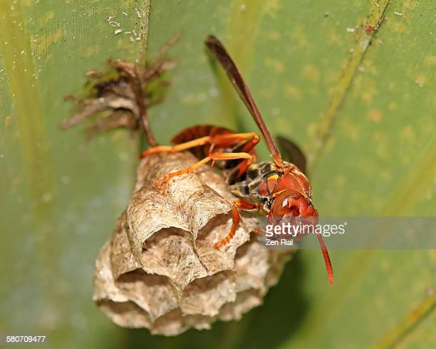 paper wasp building nest - paper wasp stock pictures, royalty-free photos & images
