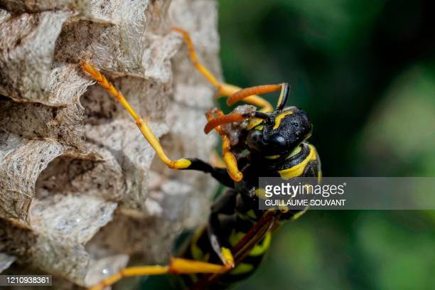 Paper wasp builds a honeycomb shaped paper nest, made from wood fibers gathered and chewed by the insect into a paste-like pulp which it uses with...