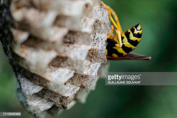 A paper wasp builds a honeycomb shaped paper nest made from wood fibers gathered and chewed by the insect into a pastelike pulp which it uses with...